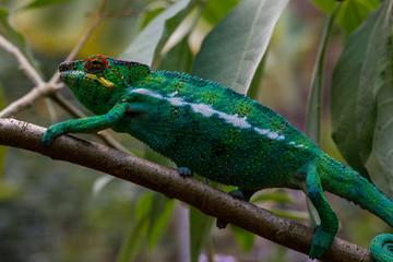 Printed roller blinds Chameleon Panther Chameleon in Andasibe, Madagascar