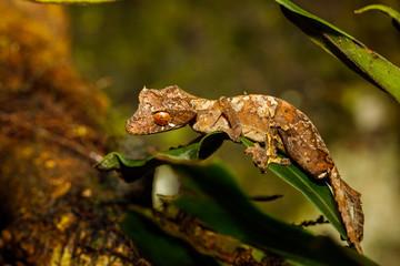 Leaf Tailed Gecko in Montagne d'Ambre National Park of Madagascar