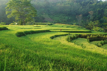 Garden Poster Rice fields Beutiful green terracing rice field in the morning