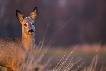 Spoed Fotobehang Ree Roe Deer (Capreolus Capreolus) standing on a field at sunset face close up