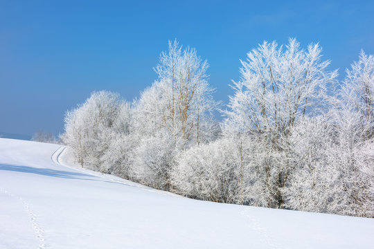 forest in hoarfrost on snow covered hill. sunny morning landscape. frosty weather with blue sky. fairy tale winter scenery. beautiful nature background of white season in carpathian mountains