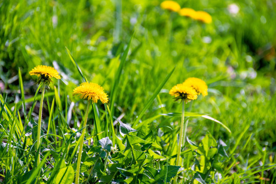 yellow dandelion flowers in the tall green grass. springtime nature background on a sunny day.yellow dandelion flowers in the tall green grass. springtime nature background on a sunny day.