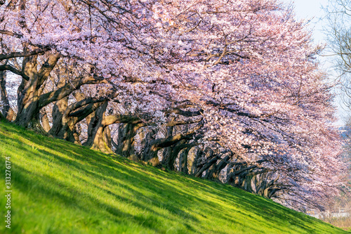 Wall mural Row of Cherry blossoms trees in spring, Kyoto in Japan.