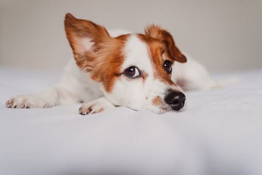 cute jack russell dog lying on bed listening with funny ear