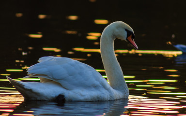 Foto op Aluminium Zwaan swan on the lake at sunset