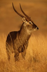 Spoed Foto op Canvas Antilope antelope, animal, deer, wildlife, impala, wild, mammal