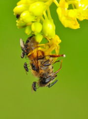 Foto auf Leinwand Schmetterling Crab spider feasting on bee. Macro photo