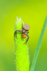 Foto auf Leinwand Schmetterling Crab spider feasting on ladybug Macro photo