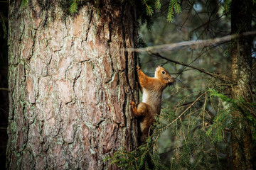 Fotobehang Eekhoorn Red squirrel (Sciurus vulgaris) on the tree in the forest