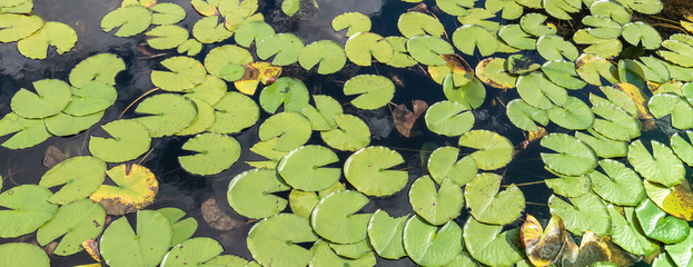 Stores photo Nénuphars Green water lily leaves background.