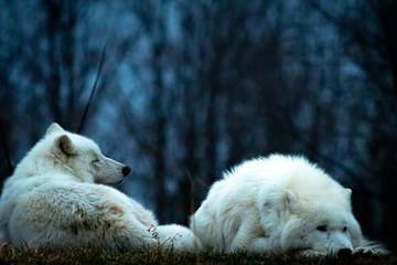 Photo sur Aluminium Ours Blanc wolf