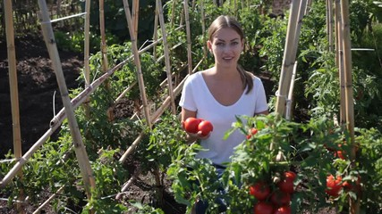 Fototapete - Young woman gardener holding basket with harvest of fresh tomatoes and peppers in  garden