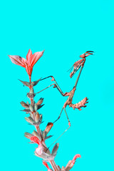 Foto op Aluminium Vlinder Close up of pair of Beautiful European mantis ( Mantis religiosa )