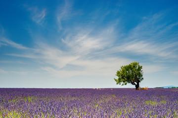 Fototapeta Lavender 69 obraz