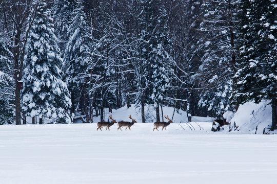 fallow deer (Dama dama) in winter