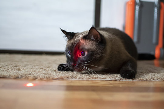 Siamese cat with expressive eyes plays with a laser pointer