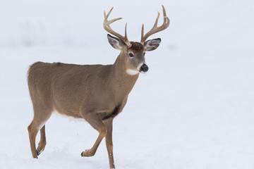 Photo sur Aluminium Cerf Deer Portrait, white-tailed deer (Odocoileus virginianus) male in winter