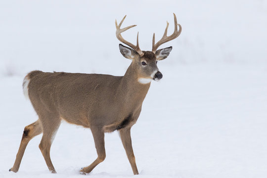 Deer Portrait, white-tailed deer (Odocoileus virginianus) male in winter
