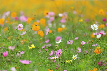 Fond de hotte en verre imprimé Univers Pink, yellow and white cosmos flower meadow in summer for natural and cottage garden style design purpose