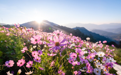 Colorful cosmos flowers that rise in the heart of the valley, a popular tourist attraction in Chiang Mai.Mon Jam Fototapete
