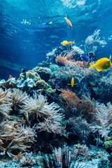 Fototapeta Colorful underwater offshore rocky reef with coral and sponges and small tropical fish swimming by in a blue ocean obraz