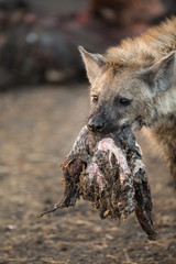 Fotobehang Hyena A spotted hyena, carrying common waterbuck, Kobus ellipsiprymnus, meat in its mouth.