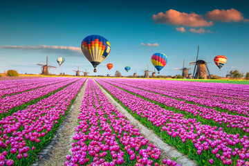 Pink tulip fields with windmills and hot air balloons, Netherlands
