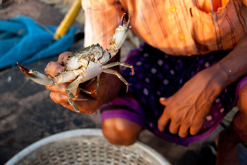Sea big crab in the hands of an Indian fisherman. India