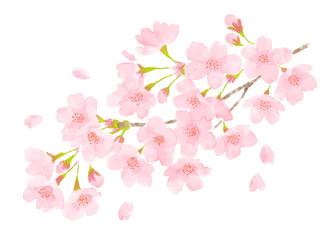 桜の花 春のイメージ水彩画
