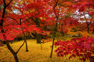 Photo sur Aluminium Rouge traffic Eikando temple foliage in Kyoto, Japan.
