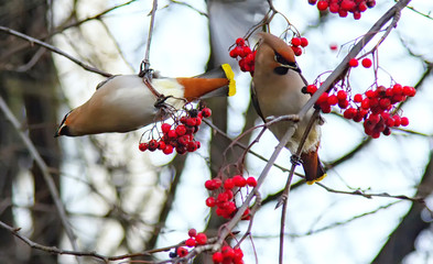 The waxwing is sitting on a red rowan. Wild birds get to the city in search of food in winter. Vintage colored picture