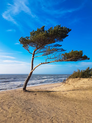 Pine that stands on a seashore. Rough Latvian weather. Wind strength. Sand beach near the Baltic sea.