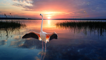 Stores à enrouleur Flamingo Tropical bird flamingo standing straight up in calm water of lake at the sunset. Wildlife.
