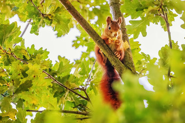 Poster Eekhoorn Red Squirrel (Sciurus vulgaris) Collecting Acorns