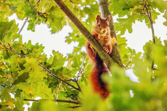 Red Squirrel (Sciurus vulgaris) Collecting Acorns