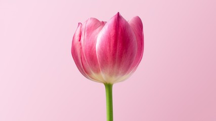 Fotorolgordijn Tulp pink tulip on white background