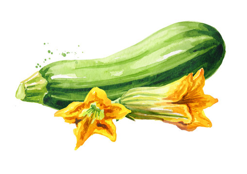 Zucchini vegetable and flower. Hand drawn watercolor illustration, isolated on white background