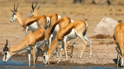 Spoed Foto op Canvas Antilope Here in the image we see very beautiful antelopes and they drink water.