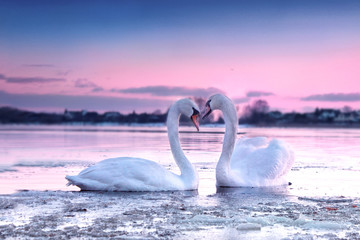 Foto op Aluminium Zwaan The romantic white swan couple swimming in the river in beautiful sunset colors. Swans symbolize the pure love and greatness of beings.