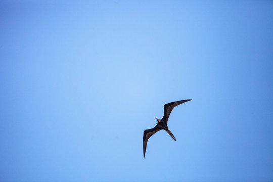 Male magnificent frigatebird Fregata magnificens bird in flight with the red gular sac visible
