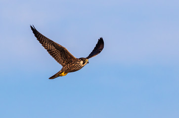 Peregrine falcon (Falco peregrinus) juvenile flying in blue sky, Galveston, Texas, USA.