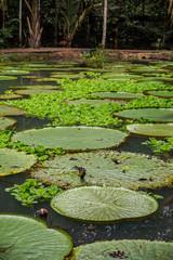 Vitória Régia, planta aquática  típica da região amazônica. Manaus, Amazonas. Dezembro 2019