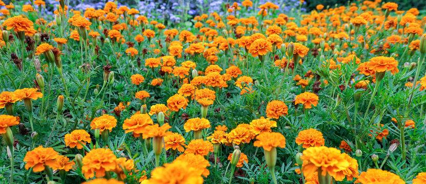 Marygold orange flowers in spring