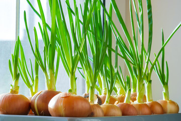 Growing green onions at home on the windowsill. Natural organic farming
