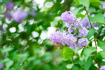 Spoed Foto op Canvas Lilac Spring branch of blossoming lilac. Lilac flowers bunch over blurred background. Purple lilac flower with blurred green leaves. Copy space