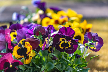 Photo sur Toile Pansies Closeup of colorful pansies (Viola wittrockiana).