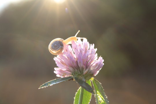 A snail creeps on a pink flower in the sun