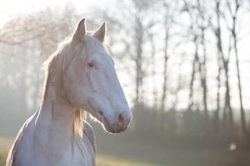 Portrait eines weißen Pferds im Nachmittagslicht