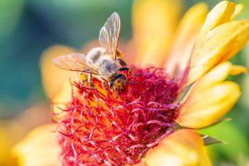 Honey bee under collecting pollen from marigold