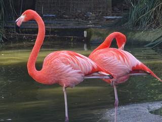 Pink flamingi beautiful colour in water